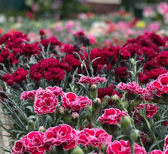 baratet-jardinerie-fleurs232x