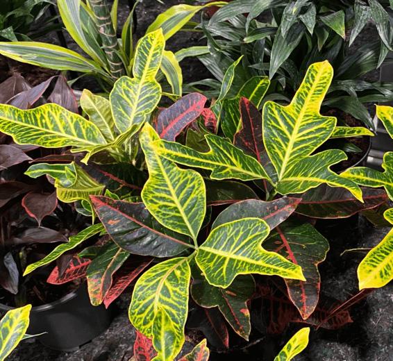 baratet-jardinerie-plante-interieur222x